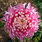 Pink Chrysanthemum by hootonles