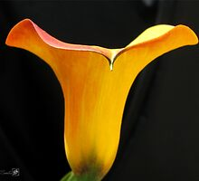 Zantedeschia named Flame by JMcCombie