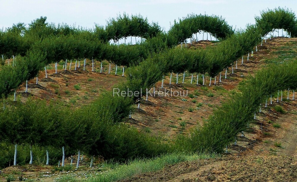 Over Hill, Over Dale…..Almonds On Parade – Yolo County, CA by Rebel Kreklow