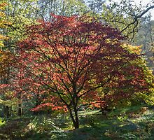 Japanese Maple in Autumn by Judi Lion