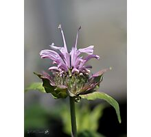 Bee Balm named Panorama Lavender Photographic Print