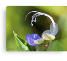 Clerodendrum Ugandense or Blue Butterfly Bush Canvas Print