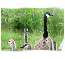 Canada Geese Poster