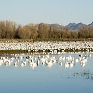 Where Snow Geese Spend Their Winters by Maurine Huang