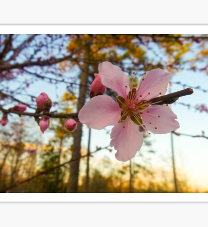 Peach Blossoms Sticker