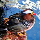 Mandarin Duck by Debbie Oppermann