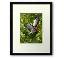 Gang Gang-Wings in Flight Framed Print