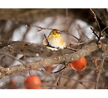 American Goldfinch in Winter Photographic Print