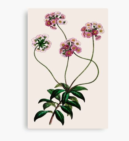 Primulaceae Canvas Print