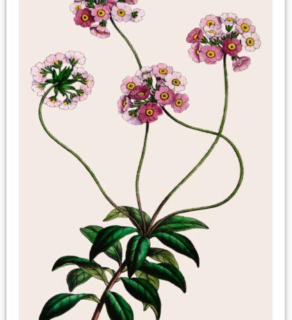 Primulaceae Sticker