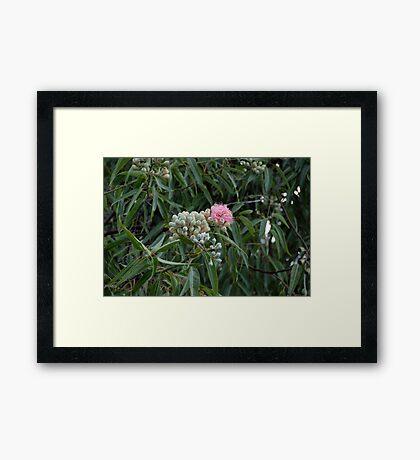 Pink Blossoms - Eucalyptus calycogona Framed Print