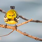 Black-throated Green Warbler  by Nancy Barrett