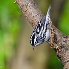 Black-and-White Warbler  by Nancy Barrett