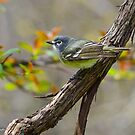 Blue-headed Vireo  by Nancy Barrett