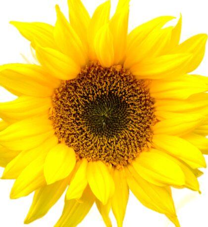 Sunflower burst. Sticker
