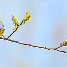 Northern Parula  by Nancy Barrett