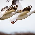 Synchronized Launch -- Snow Geese by Tom Talbott