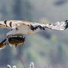 Flight of the Mudcat -- Osprey by Tom Talbott