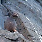 Blending In -- Pigeon Guillemot by Tom Talbott
