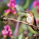 Brief Moment of Peace -- Rufous Hummingbird by Tom Talbott