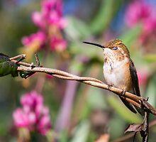 Brief Moment of Peace -- Rufous Hummingbird by Tom Talbott