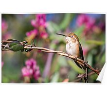 Brief Moment of Peace -- Rufous Hummingbird Poster