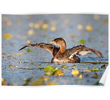 Stretching -- Pied-billed Grebe Poster