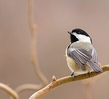 Chickadee in Filbert by Tom Talbott