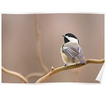 Chickadee in Filbert Poster