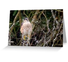 Hawk on a Stick -- Sharp-shinned Hawk Greeting Card
