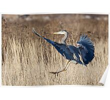 Great Blue Heron Landing Poster