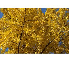 Ginkgo Photographic Print