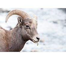 Bighorn near the river Photographic Print
