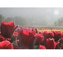 Tulip Morning - A field of tulips greet the morning Photographic Print