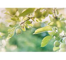 Green Apples at Golden Hour Photographic Print