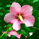 Rose of Sharon with Raindrops by Vivian Eagleson