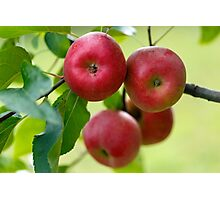 Red apples on branch Photographic Print