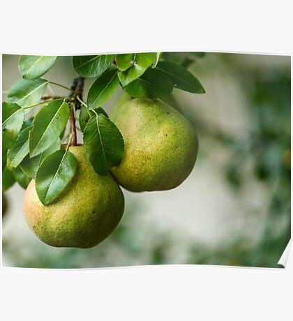 Ripe pears closeup Poster