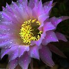 Cactus Flower  ...   Mother Nature's Fireworks by myraj
