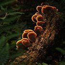 Bracket Fungi by michellerena