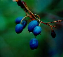 blueberry ash (Fraser Island) by Janine Paris
