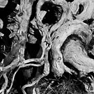 twisted roots (Mt Ossa) by Janine Paris