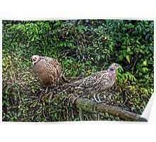Young Pheasants in the garden.......... Poster