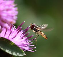 Hoverfly on Pink Flower by Maria Gaellman