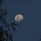 Waxing Gibbous Moon Through the Gum Tree by Sandra Chung