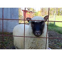 Tamara - a Clun Forest lamb Photographic Print