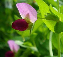 Pink Pea Blossom by Betty Mackey