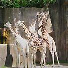Three Giraffes by Graphxpro
