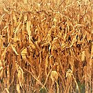 Corn Stalks by Graphxpro
