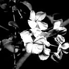 Cape Plumbago by swelldame